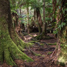 Old growth rainforest at the Tarkine Wilderness Lodge, TAS