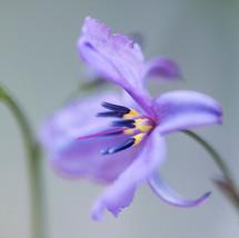 A purple flower in Milarri Garden at Melbourne Museum