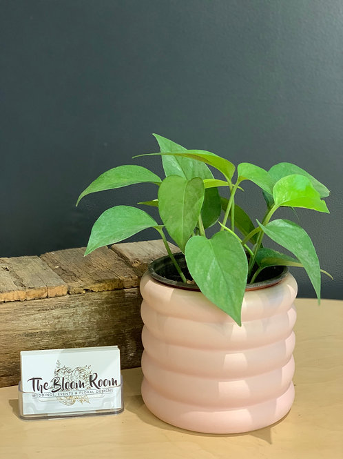 Small Devils Ivy Beehive Pot