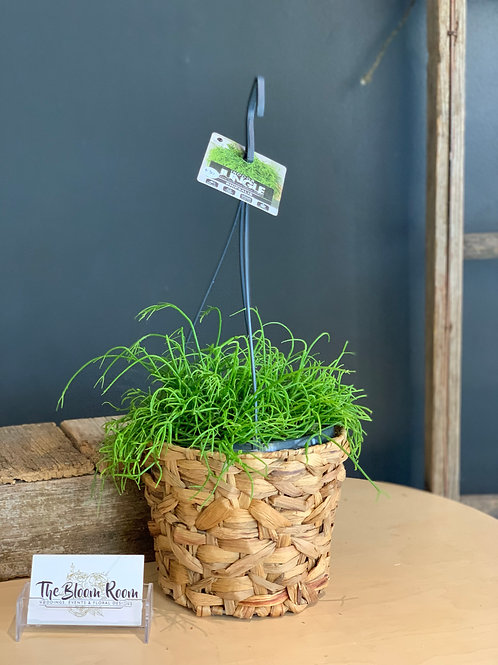 Rhipsalis Plant with woven basket