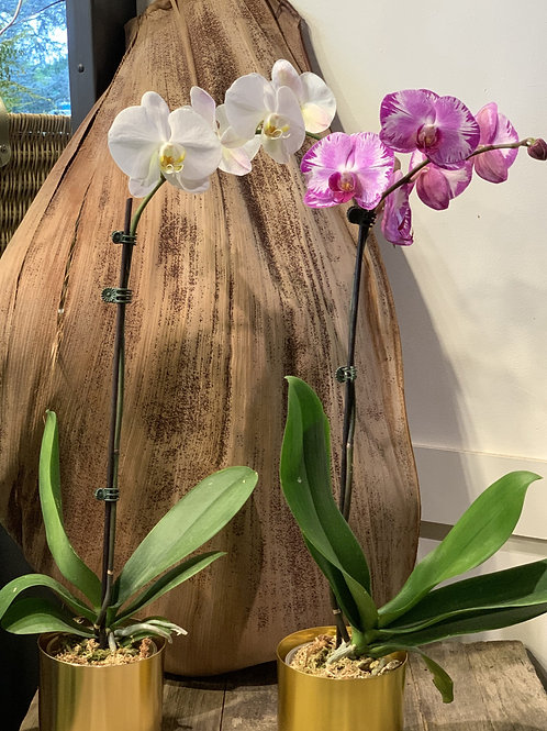Single Stem Orchid Plants