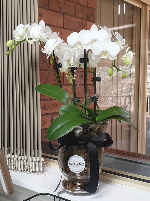 Medium Ceramic Orchid Plant
