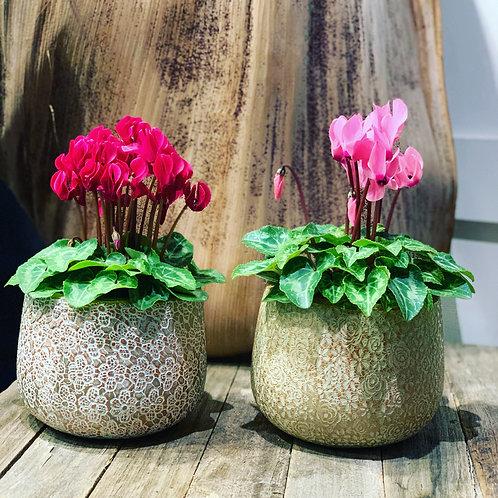 Cycleman Plants In Ceramic Pot