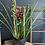 Thumbnail: Cymbidium Plant