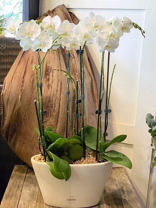 Large3 Stem Orchid Plant (Glass Bowl)