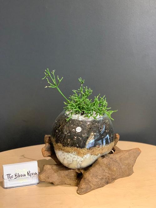 Medium Seaweed Plant