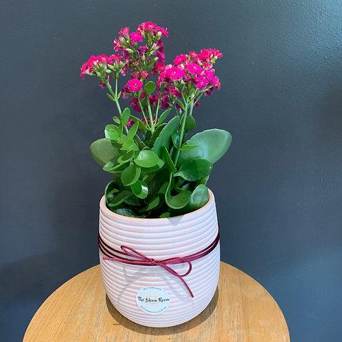 Calandiva Plant
