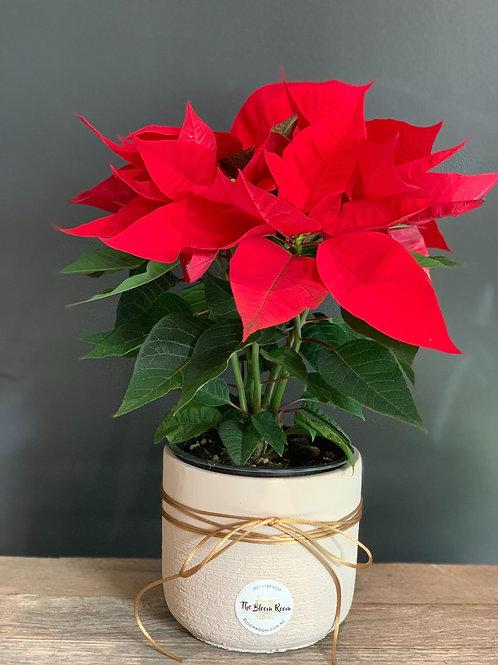 Poinsettia Plant in Ceramic Pot
