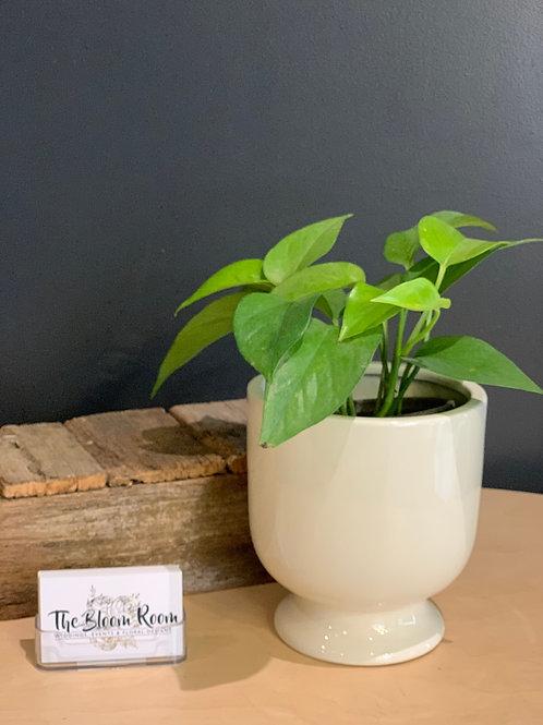 Mini Devils Ivy Belly Pot
