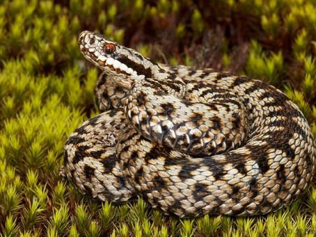 Змея подколодная или как ее еще называют – гадюка – в Подмосковье, увы, водится.