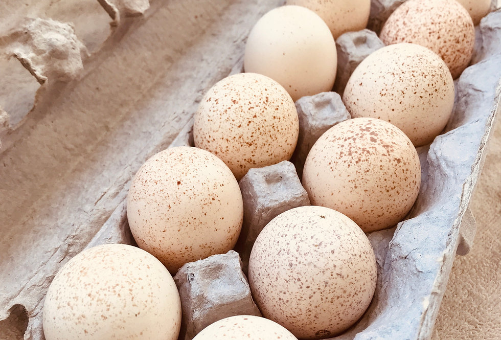 Broad Breasted Fertile Turkey Eggs