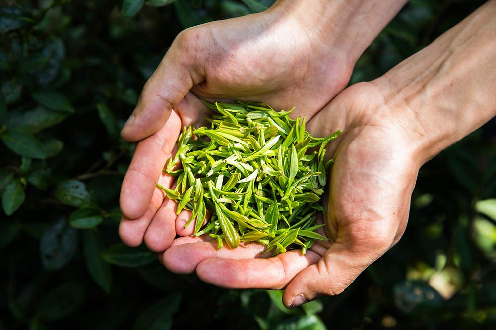a farmer holding tea leaves