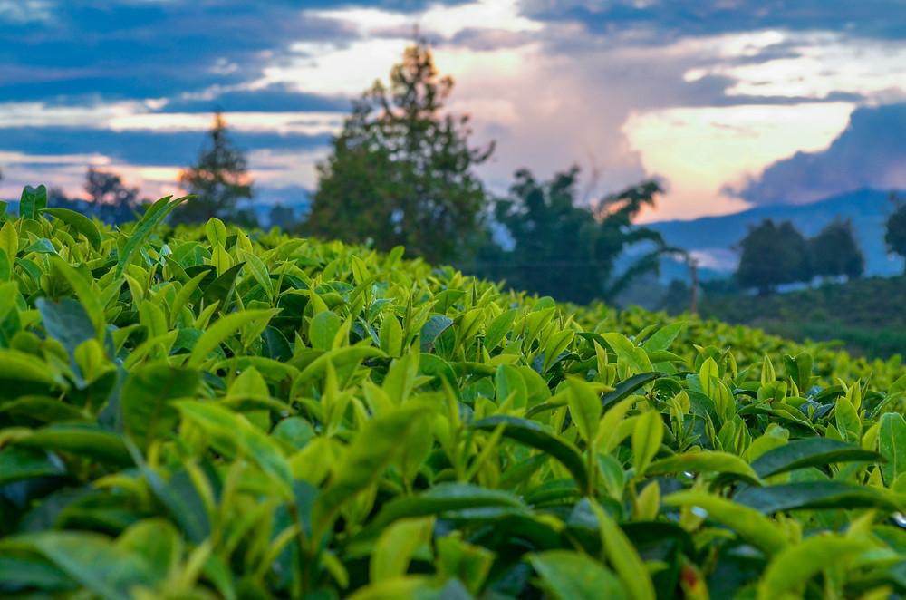 Yunnan tea garden