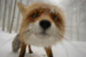 FOX-face.jpg