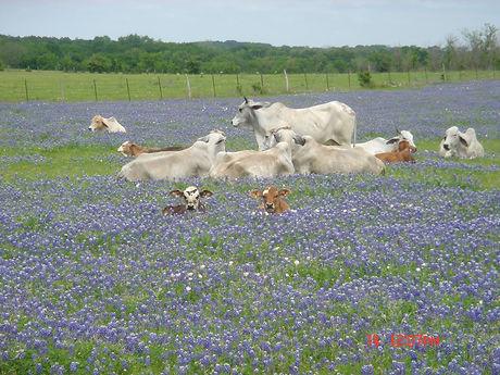 Cows in Bluebonnets.jpg