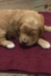 Golendoodle Puppy