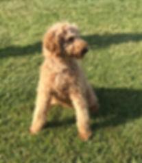 Connor Standard Poodle