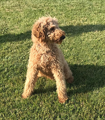 Connor Standard Poodle