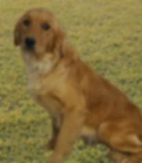 Daisy our Golden Retriever