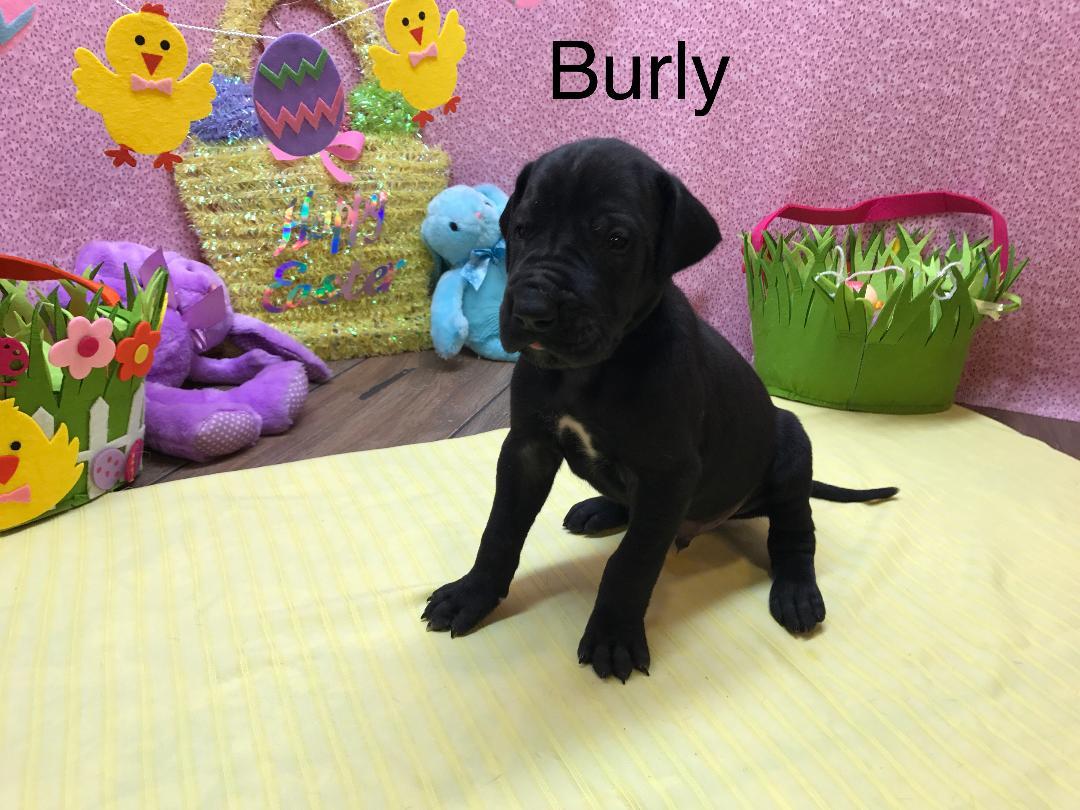burly2