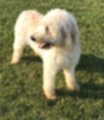 Lilly our Standard F1 Goldendoodle