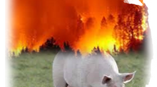 The Paradox of African Swine Flu and The Brazilian Forest Fires