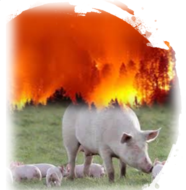 Pigs grazing in a field forest fire back drop