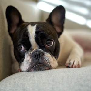 Dogs can be nervous during fireworks