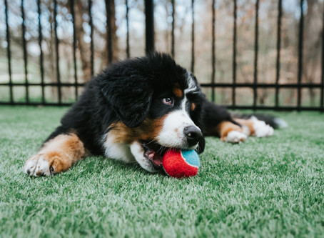 Interactive Play and its Importance for Puppies
