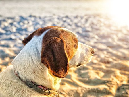 Do Dogs Need SPF?