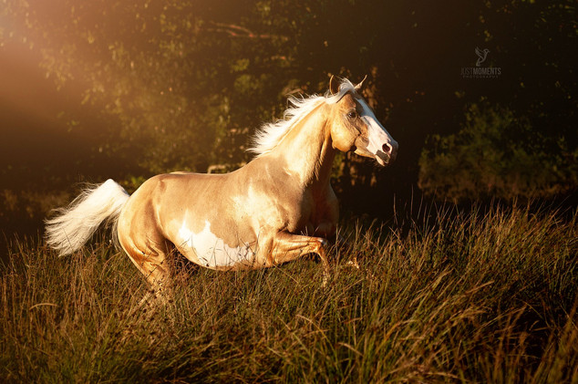 American Paint Horse Hengst