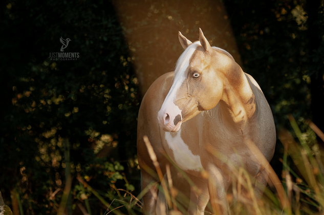 American Painthorse Hengst