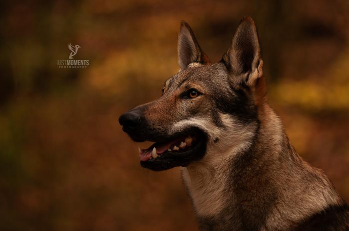 tschechisch slowakischer Wolfhund