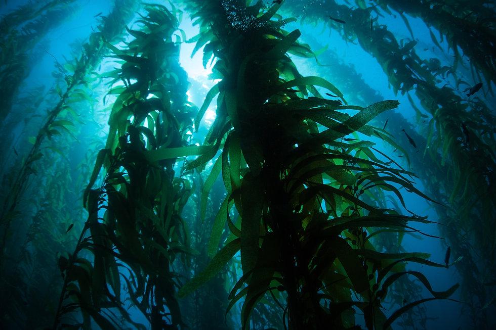 Silhouetted giant kelp, Macrocystis pyri