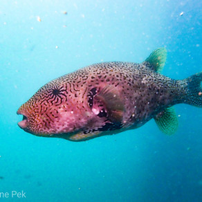 Diving In Singapore: Starry Pufferfish