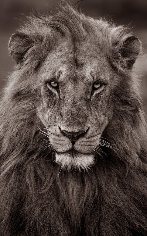 Lion Staring