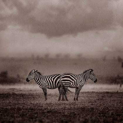 Two zebras under the rain
