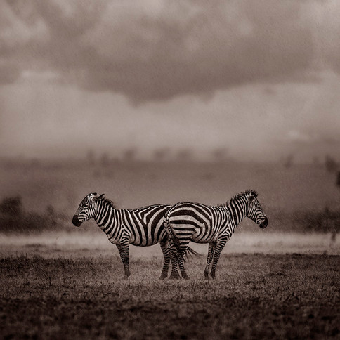 Two zebras under the rain