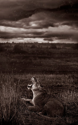 Lioness Yawing in the Storm
