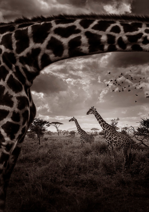 Looking through the giraffe