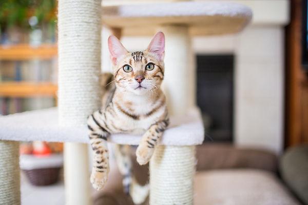 Cat on a cat tree.