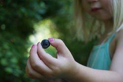 Blueberries in Frankin
