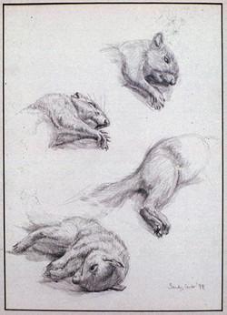 Pencil on Paper.Squirrel.