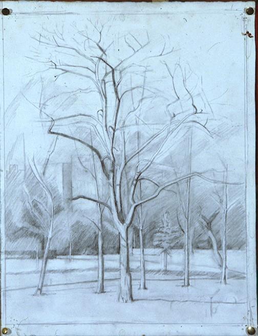 Pencil on Paper. Sycamore Victoria Park.