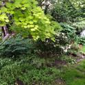 Japanese Maple in a woodland garden