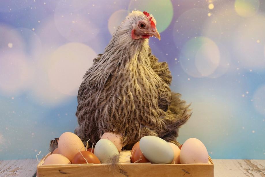 hen eggs.jpg