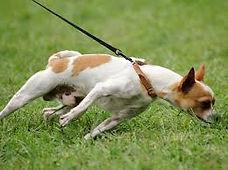 pullingdog.jpg
