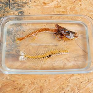 福壽魚 Tilapia