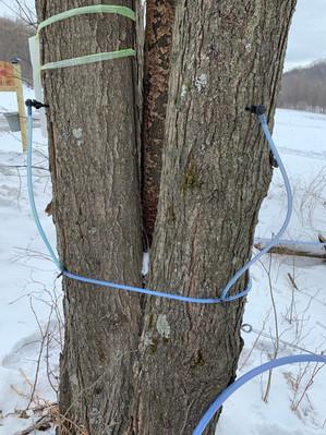 2 tap tree