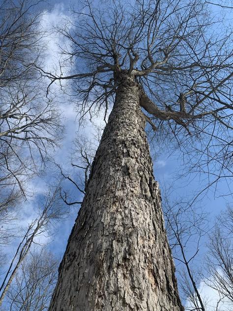 Giant Maple Tree
